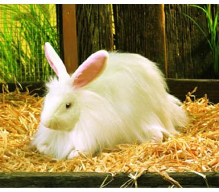 Ангорский кролик, 36 смЖивотные